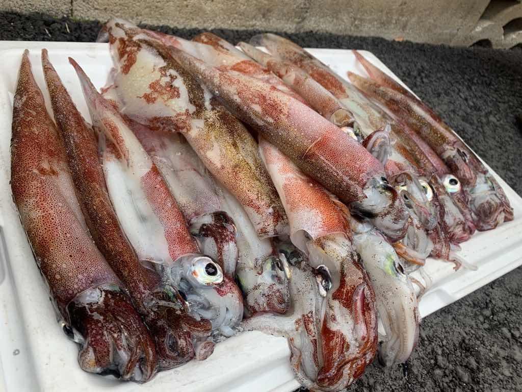 粟島浦村 ヤリイカ釣り 釣果21匹